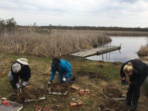 Decorating the nesting platforms with marsh vegetation and mud.