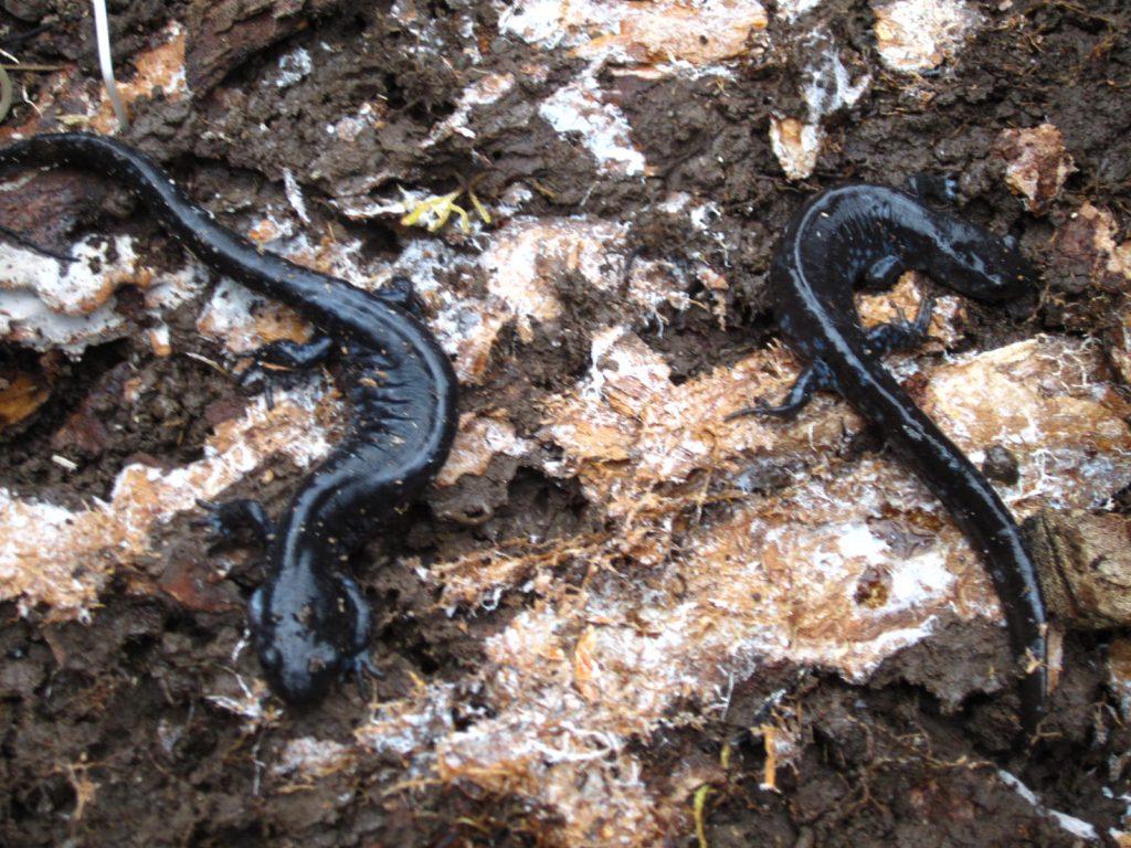 Salamander Search