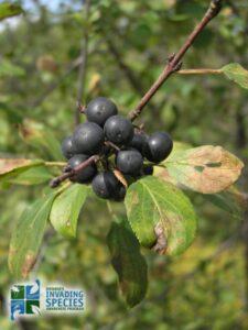 Invasive Buckthorn
