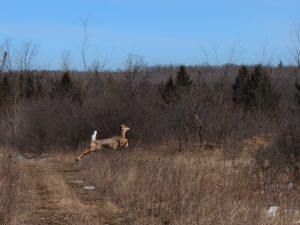 Cation - Deer